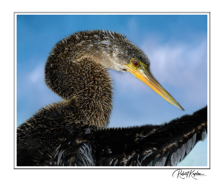 Anhinga Portrait-9013-morningatseabluesky.jpg