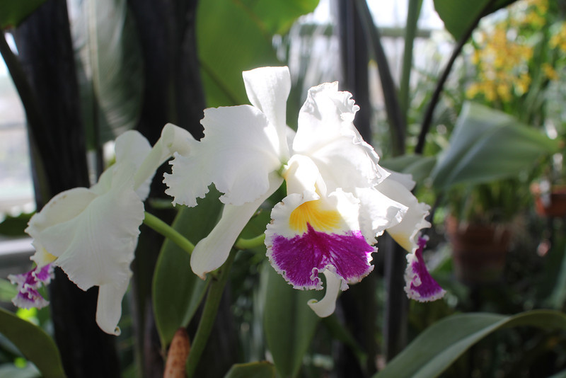 Queen Mary orchid