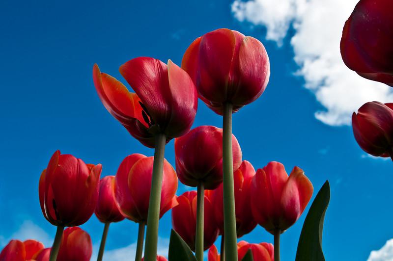 TulipFestival-69.jpg