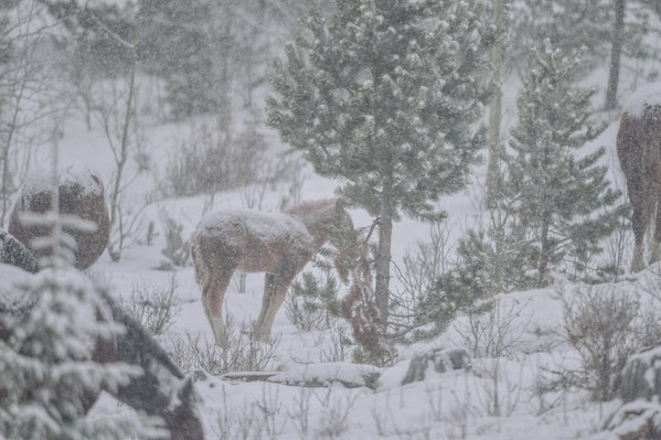 11 2013 Nov 19 Alberta Wild Horses - Elbow Falls Bad Weather*^