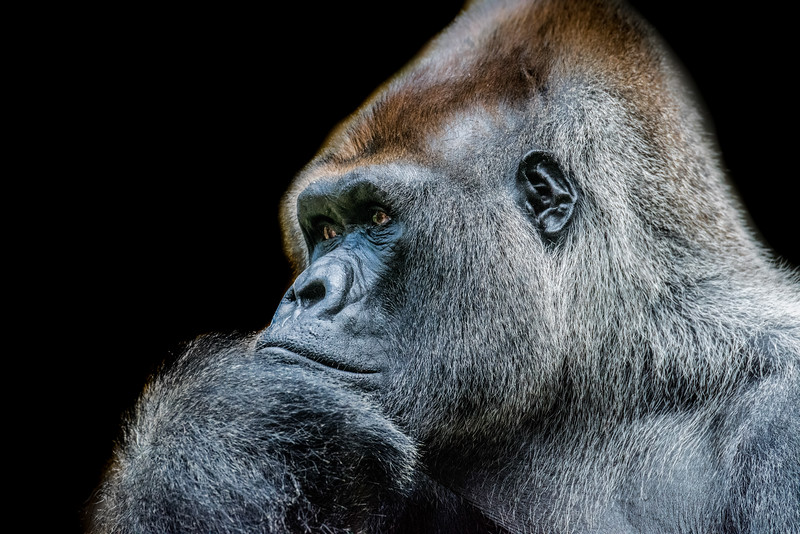 Gorilla in thinking pose