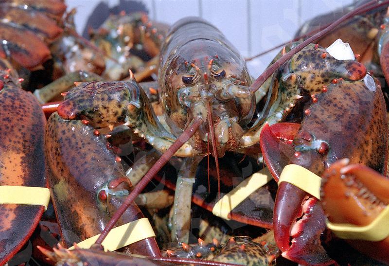 lobster10.jpg