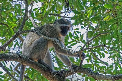 Monkeys - Aber