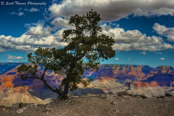 Pinyon Pine tree growing on the canyon rim at Yaki Point at Grand Canyon National Park in Arizona.