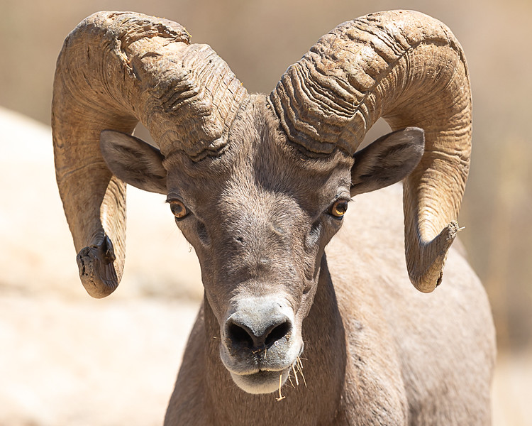 desert ram straight on.jpg