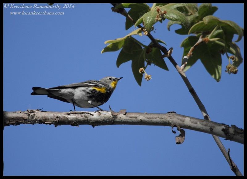 Yellow-rumped Warbler, Santee Lakes, San Diego County, California, February 2014
