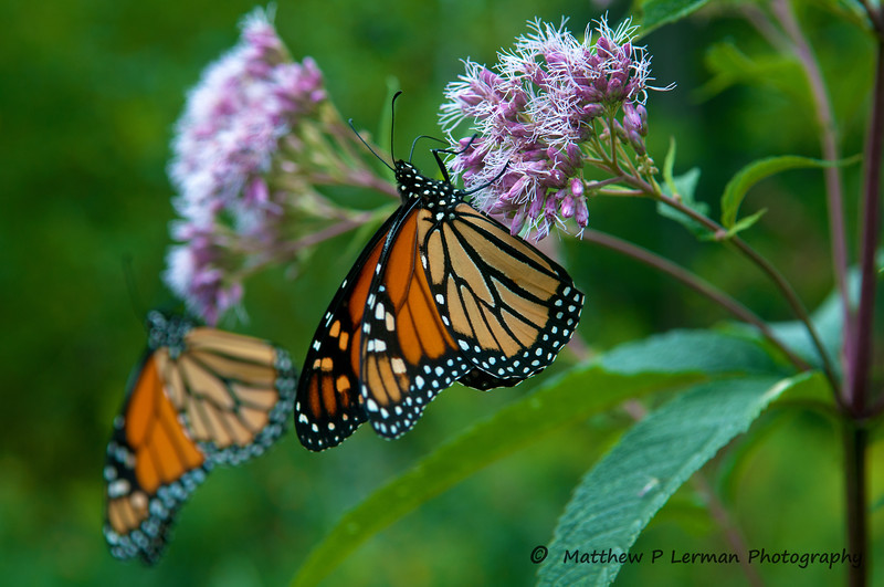 321 Insect Monarch Butterfly 08 15 12_4230.jpg