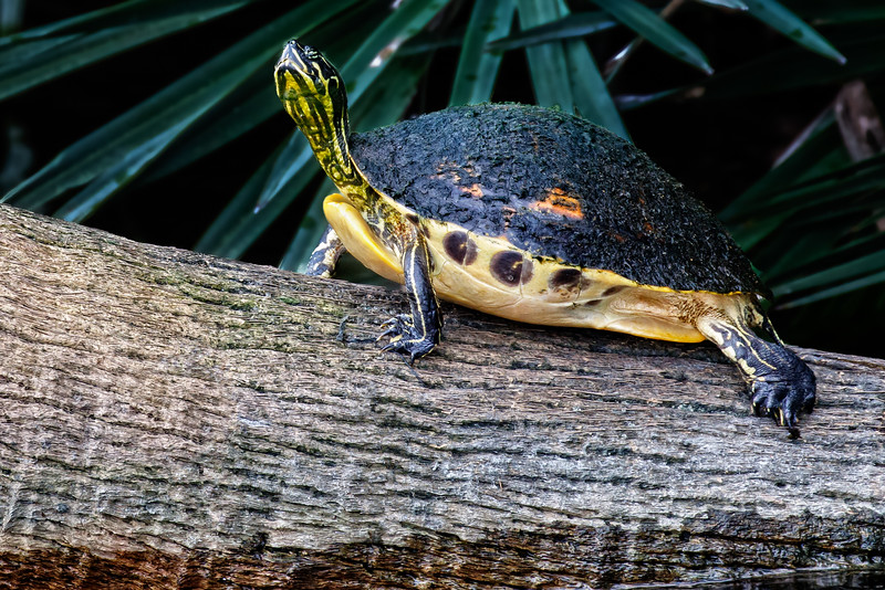 Yellow-Bellied Slider-1308.jpg
