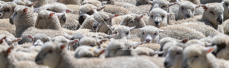 Sheep herd ready to be shorn