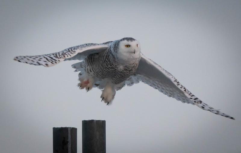 Snowy Owl Flying wide wings