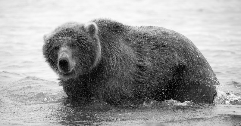 Grizzly Bears of Katmai National Park, Alaska B&W