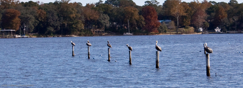 Brown Pelicans all in a row at Lincoln Park in Valparaiso, Fl