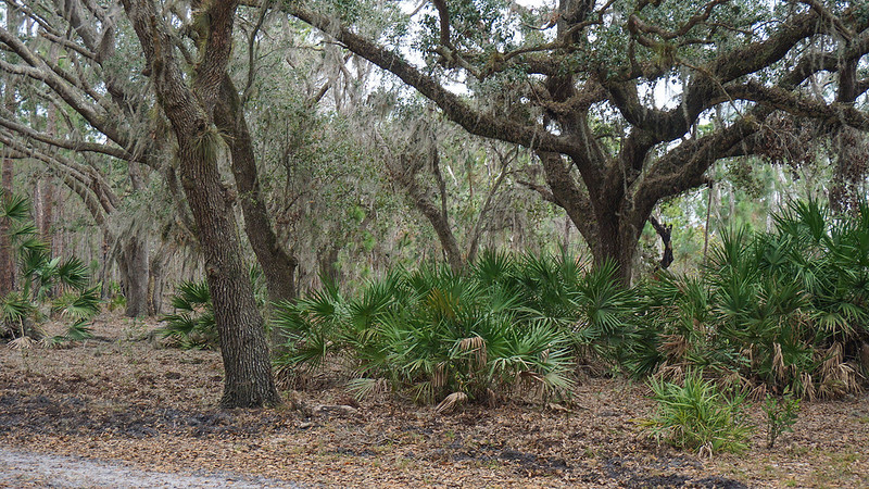 Large live oaks