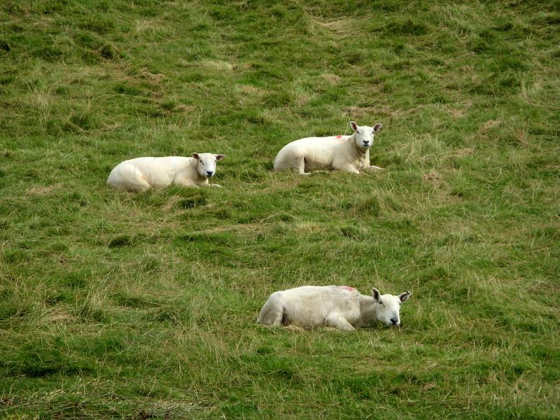 Ooo sheeps!