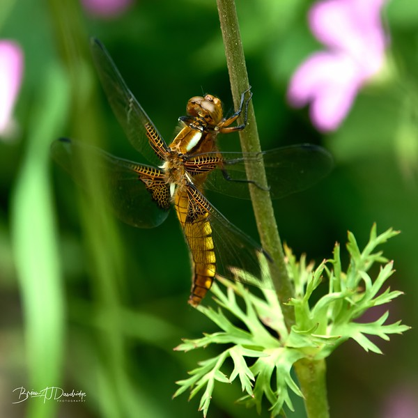Broad-bodied Chaser-0263_DxO - 2-38 pm.jpg