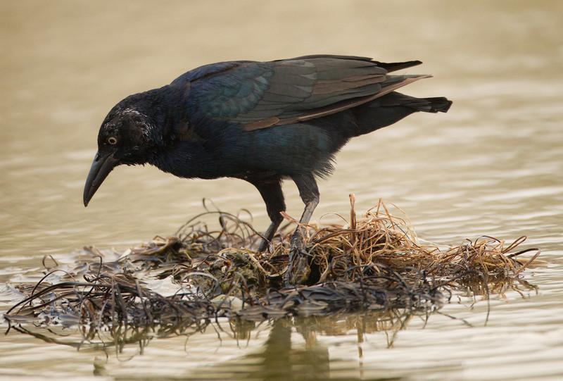 Great-tailed Grackle San Luis Rey River Oceanside 2012 09 13 (1 of 2).CR2