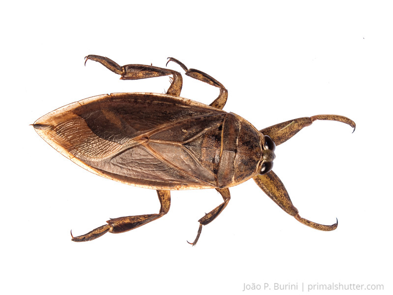 Giant water bug (Belostomatidae) Tapiraí, São Paulo, Brazil Atlantic forest (rainforest strictu sensu) January 2017