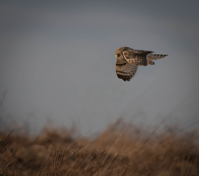 Short-eared Owl looking small