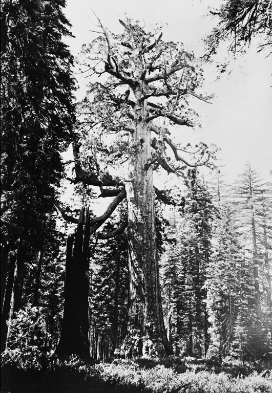 . A thirty-three foot wide tree known as the \'Grizzly Giant\' in the Mariposa Grove of Giant Sequoias, Yosemite National Park, California, circa 1870. (Photo by Carleton E Watkins/Hulton Archive/Getty Images)