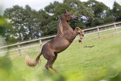 Mirar Miniatures & Arabians
