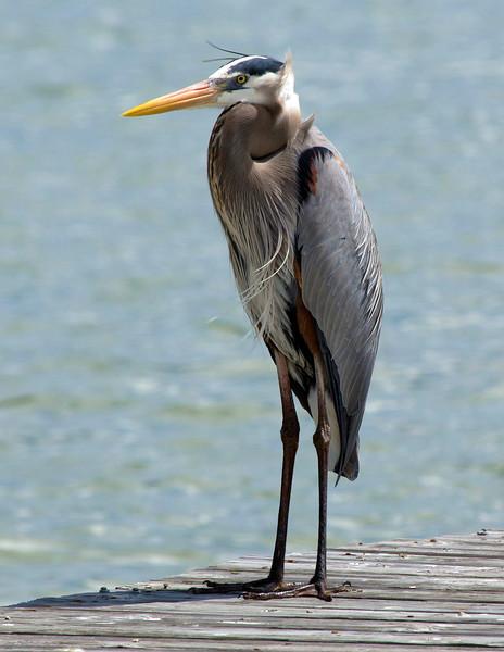 A great blue heron on Little Bay in Fulton.  Neck folded in.