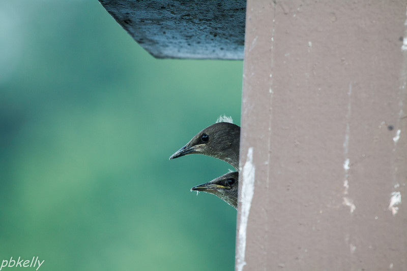 July 7.  Definitely not my favorite birds, Starlings took over one of the Bluebird boxes at Peak.  As much as I may dislike them, these juveniles were cute.