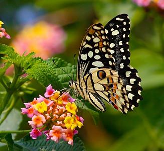 Papilio demoleus / Лимонный парусник или Демолей