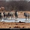 Zebras Crossing the Waterhole