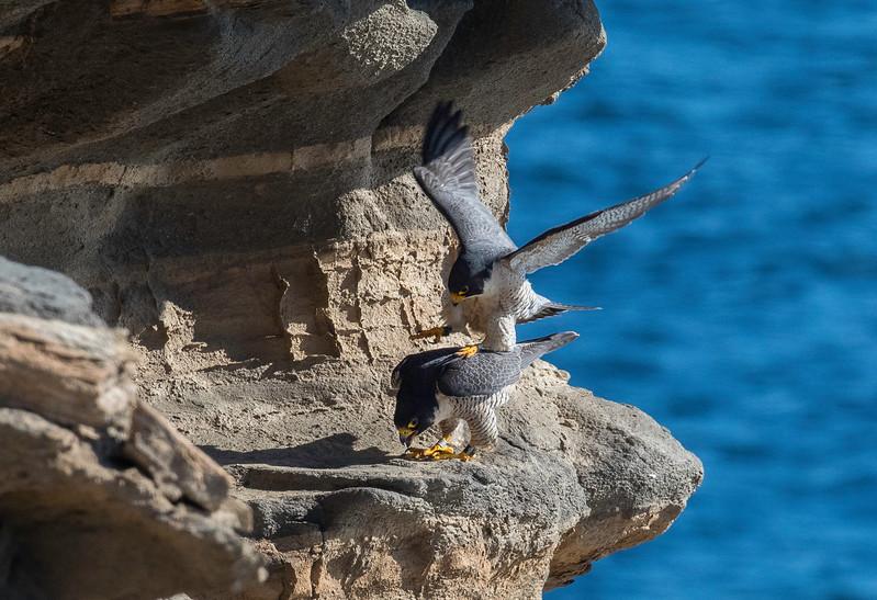 Falcons mating4.jpg
