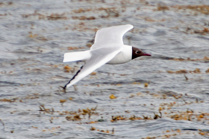 Black-headed Gull - Krossavik, Iceland