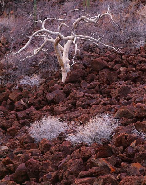 Baja California Sur, Mexico / Elephant tree, Bursera microphylla, amid the Pico Vicente lava flow near San Ignacio. Sonoran Desert. 22002V8