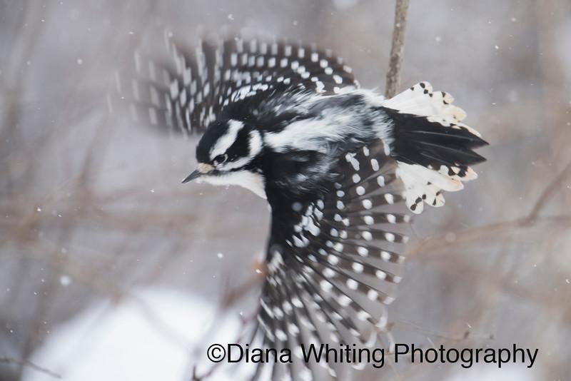 Downy Woodpecker Artistic in Flight