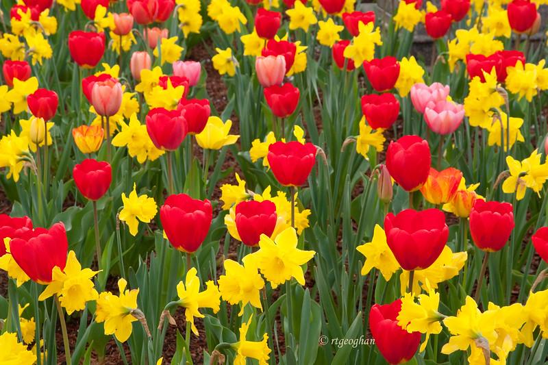 April 24_Tulips-DaffodilsSecaucus_0245SM.jpg