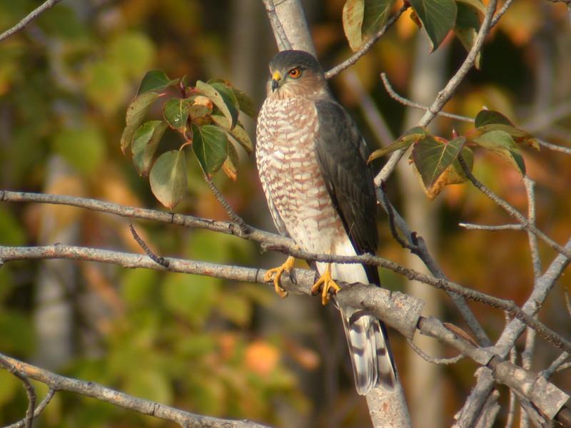 Hawk - Sharp-shinned - Taconite Bay, MN