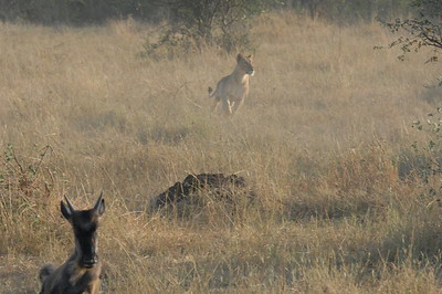 6-29-2008 Lions Killing a Wildebeast Tanzania