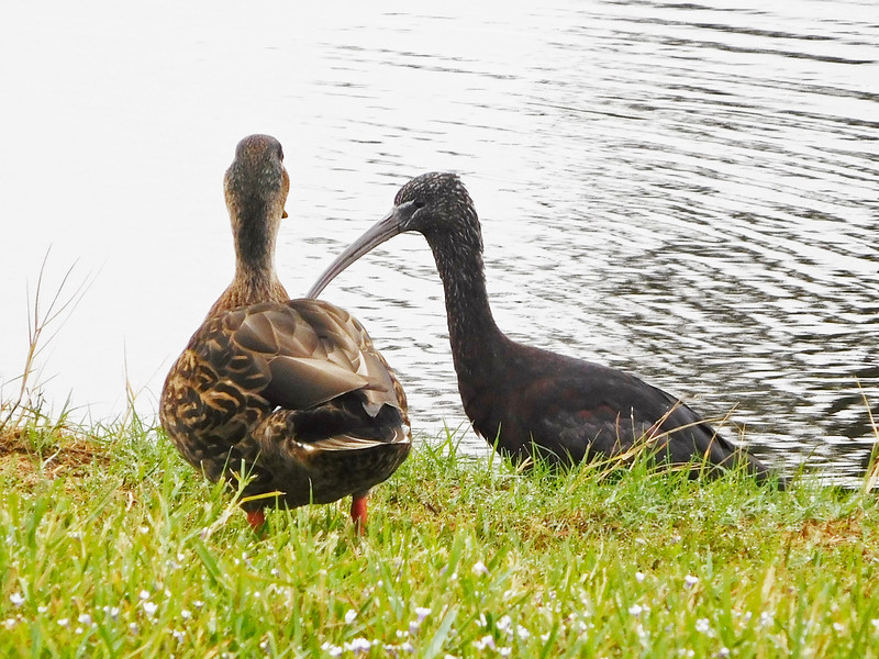 6_9_19 Friends, a female Mallard with a Glossy Ibis.jpg