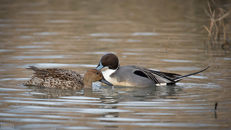 Northern Pintail Couple