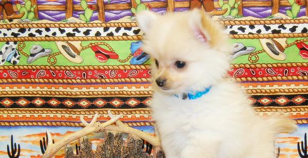 Sold Puppy # POM 1029  TONY N. ON 03-20-09