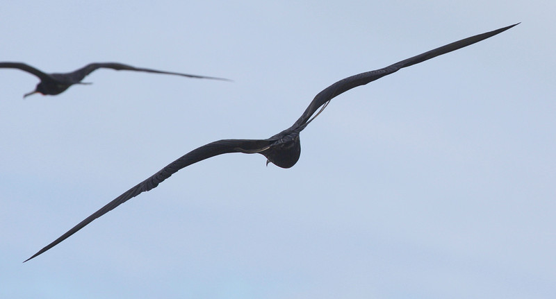 Frigate bird, rear view