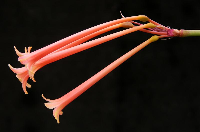 Cyrtanthus 'Pink'