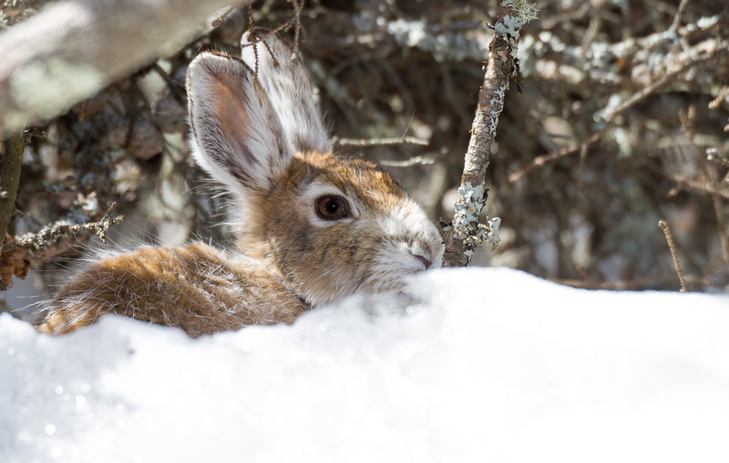 Snowshoe Hare turning brown Warren Nelson Memorial Bog Sax-Zim Bog MNIMG_1406.jpg