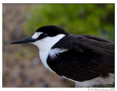 Seychelles Birds - Sooty Terns