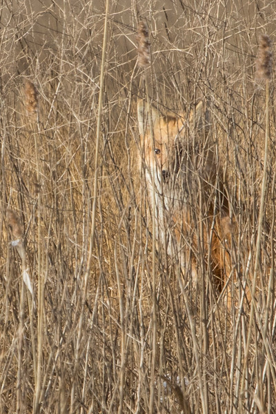1-22-2016 Foxes and Owls 112 SM.jpg