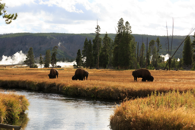 Buffalo along the Firehole River 001