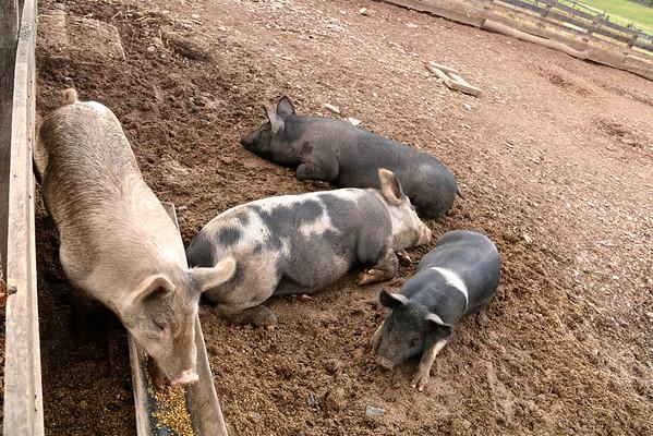 Pigs and Swine