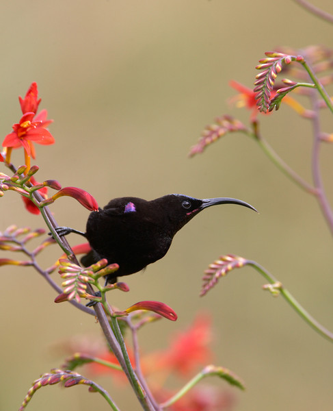 African Black Sunbird (Amethyst Sunbird) (Nectarinia amethystina) Drakensberg, South Africa Jason gallier ref- 0080