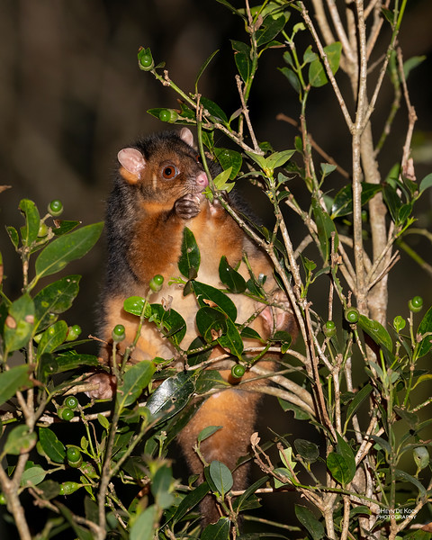 Common Ringtail Possum, Lamington NP, QLD, Oct 2020-1.jpg