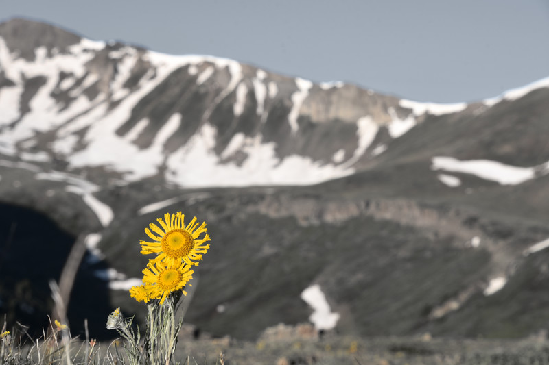 Sunflower-lowsaturation-IndependencePass.jpg