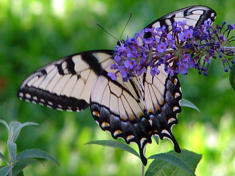 Eastern Tiger Swallowtail 1.jpg