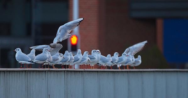 Marine and coastal birds - Denmark